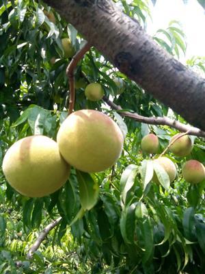 产品展示 > 桃子 山西桃子     绛县桃子现已陆续大量上市,品种优早丰