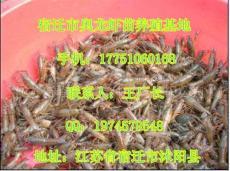 龍蝦苗價格