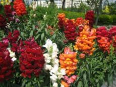 山东宿根花卉