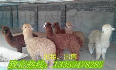羊驼哪里有卖的 羊驼养殖赚钱吗