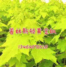 供應彩葉霸主--普林斯頓金黃金楓 黃金楓苗