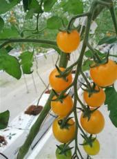 绿宫坊特色西红柿全面上市