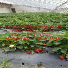 甜查理草莓苗价格 优质甜查理生产厂家信息