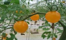 小西红柿的功效