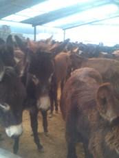 養殖驢駒小毛驢
