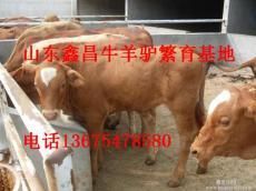 養西門塔爾牛效益如何利木贊牛小牛價格肉牛