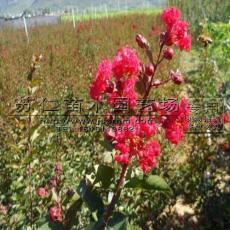 红花紫薇行道树参考价格
