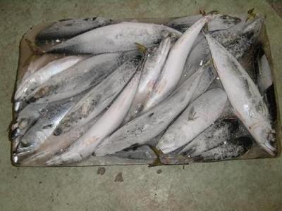 供应印度23厂秋刀鱼