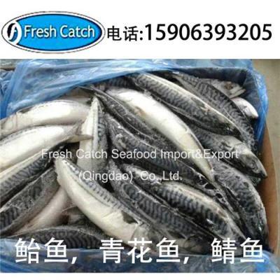 鲭鱼鲐鱼鲐鲅鱼英国进口青占鱼