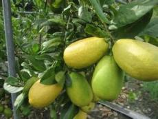 供应柠檬苗 台湾香水柠檬 四季开花结果